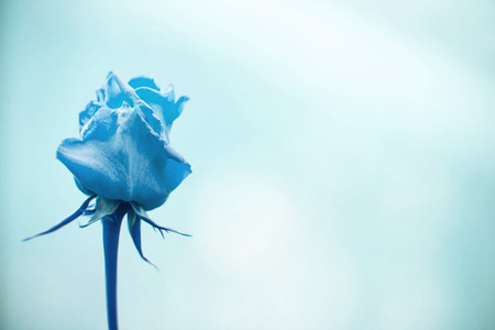 Abstract blue single rose with pain background photo