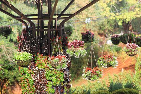 geranium color: Multicolor flower hanging for decoration the house and garden