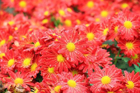 Flower bed of red chrysanthemums flower in garden photo