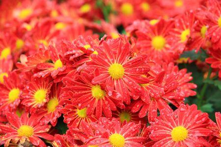 lindi: Flower bed of red chrysanthemums flower in garden