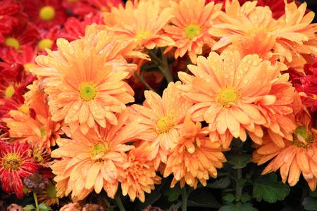 lindi: Pink Antirrhinum flowers in garden