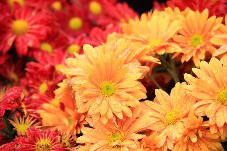 Pink Antirrhinum flowers in garden photo