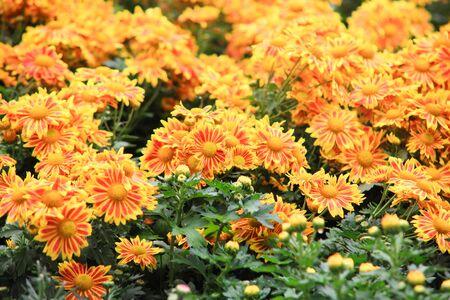 lindi: Flower bed of yellow chrysanthemums flower in garden