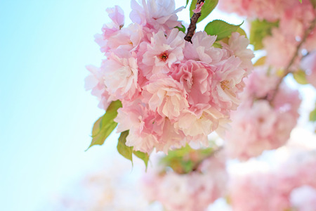 Abstract blur of cherry blossom in spring at Osaka, Japan photo