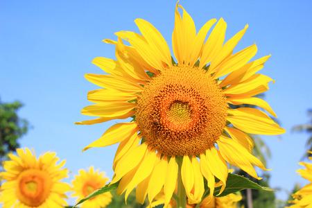 Sunflower field with blue sky photo
