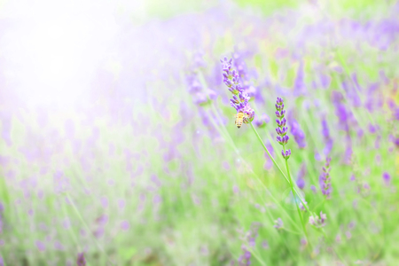 Abstract soft and blur Lavender field for background Reklamní fotografie