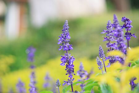 medow: Natural Violet flower in the garden for background Stock Photo