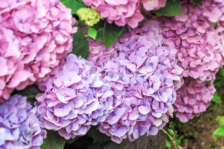beautyful: Colorful of Hydrangea flower blooming in the garden, Japan