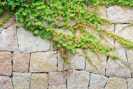 Natural rock stone wall covered by Green Wild Vines leave Stock Photo