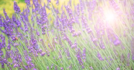 champ de fleurs: champ de lavande doux et flou pour bannière et fond