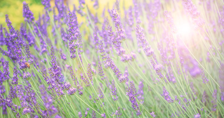 field flower: Soft and blur lavender field for banner and background