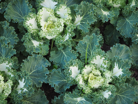 flowering kale: Cabbage Ornamental in the garden