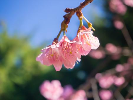 indy: Wild himalayan cherry prunus cerasoides like sakura in  Chiangmai Thailand Stock Photo
