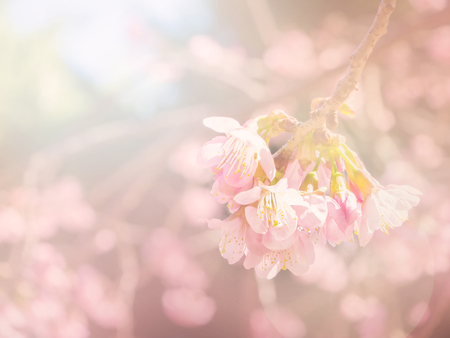 sof: Abstract sof and blur pink sakura for background Stock Photo