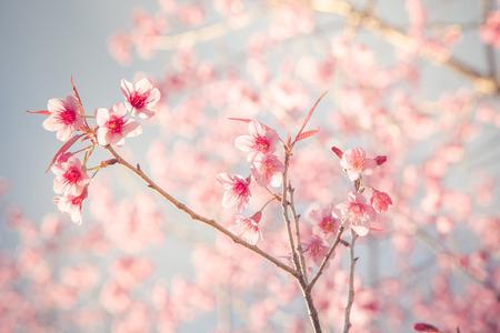 fillter Vintage de Sakura de fleurs de cerisier dans la saison de printemps Banque d'images