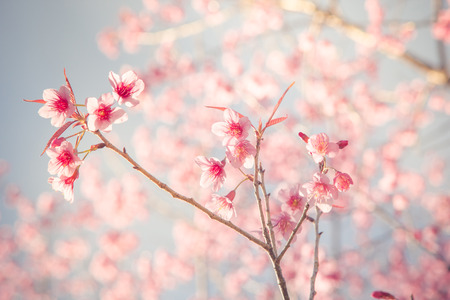 Vintage fillter of Sakura cherry blossom in spring season