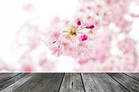 cherry wood: Abstract blur Pink cherry blossom (sakura) background with wood plank