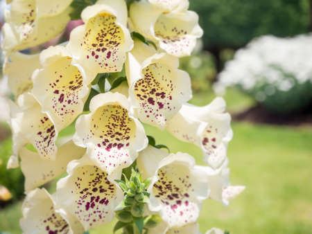 botanical farms: Antirrhinum flower closeup, White flower, Snapdragon flower (antirrhinum) in the garden Stock Photo