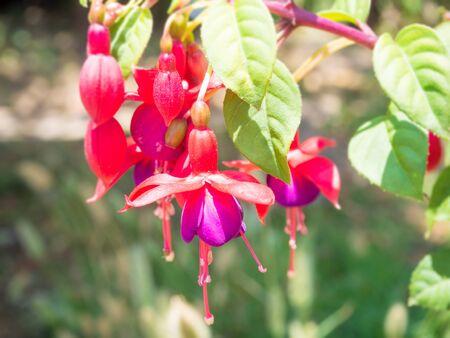 flores fucsia: Hermosas flores fucsia en el jard�n Foto de archivo