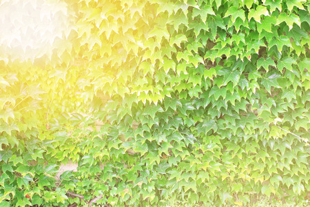 grape vines: Abstract green ivy wallpaper with warm filter