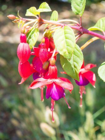 flores fucsia: Hermosas flores fucsia en el jardín Foto de archivo