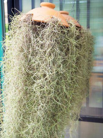 remix: Spanish moss plant hanging for decoration