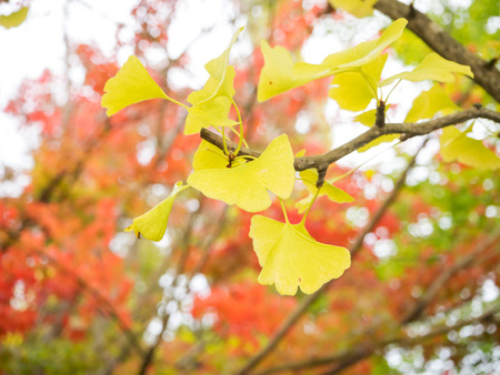 Blur and soft Yellow Ginkgo biloba leave in Japan Stock Photo