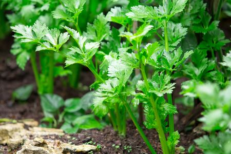 Fresh celery vegetable growing in the organic farm