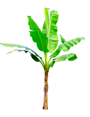 Banana tree isolation on white background