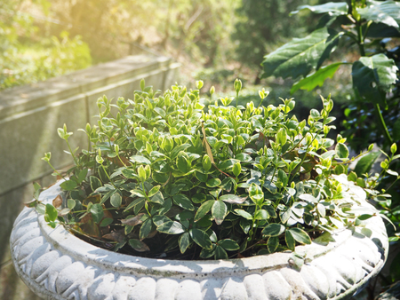 Green plant in the clay pot decoration in the garden