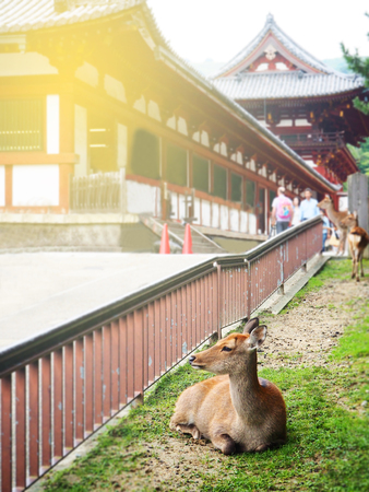 Deer in Todaiji temple the Worlds heritage site in Nara, Japan Stock Photo
