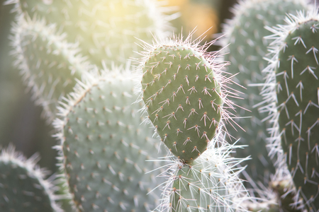 Texture of Texas Cactus in the garden