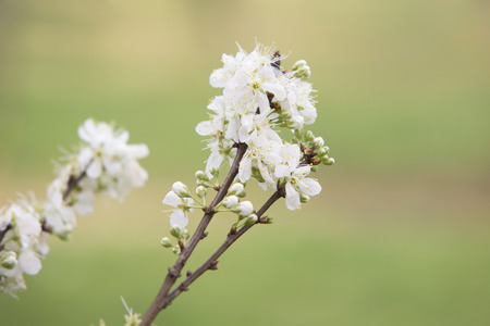 Whit Plum flower with green background