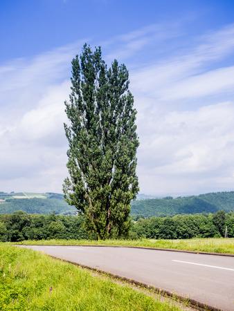 大きなポプラの木、北海道、美瑛の道の景観