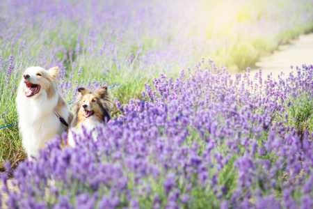 Cute dogs in the Lavender field in Hokkaido, Japan Stock Photo
