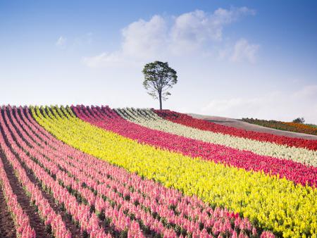 夏の美瑛, 北海道, 日本での丘の上の花壇のカラフルです