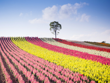 Colorful of flower bed on hill in summer at Biei, Hokkaido, Japan