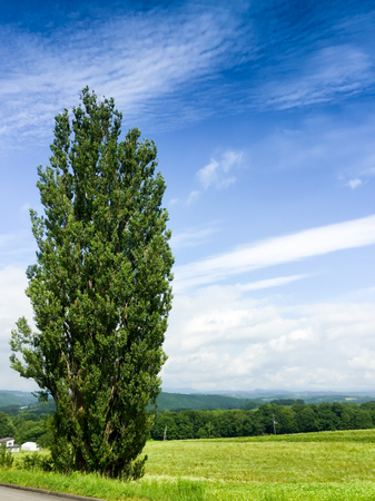 昔の風景と美瑛、日本の大きなポプラの木