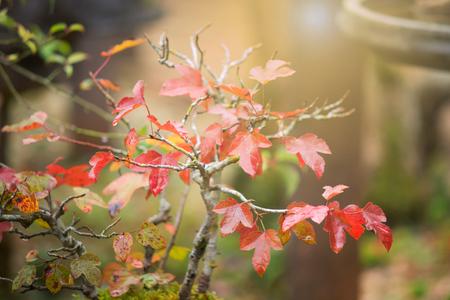 A little red maple bonsai tree decoration in garden