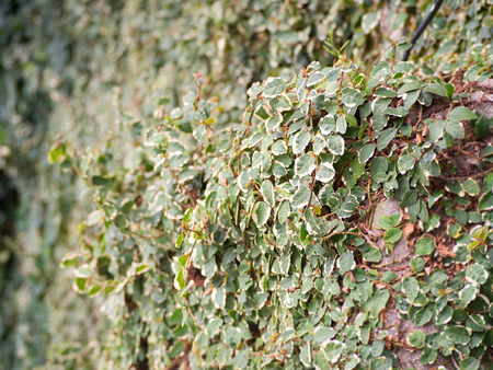 Creeping Fig plant growing on the wall the selective focus for green and natural background Stock Photo