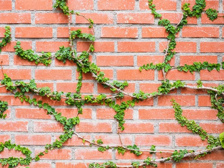 Coat bottons plant creeping on the brown brick wall for background