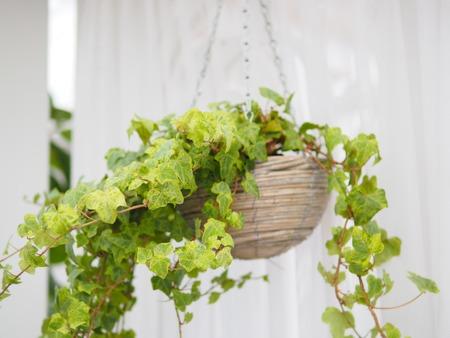 Grüne Efeupflanze im hängenden Holztopf zur Dekoration zu Hause Standard-Bild