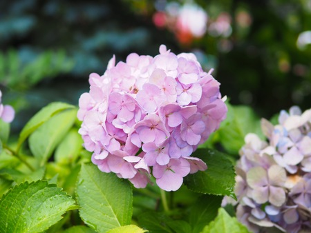 Beautiful pink hydrangea flower blooming in the garden for natural background Reklamní fotografie