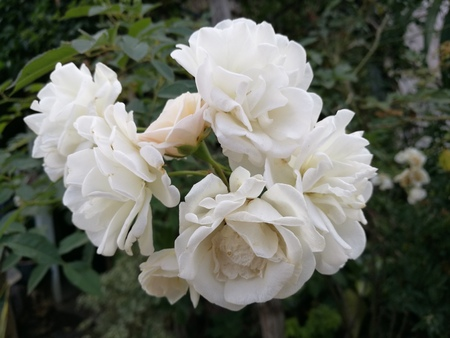 path to romance: White pure rose standing out from the bush in garden, closed-up focus-on-foreground with blur tree background, White rose idea for Valentine and wedding flower Bouquet, pure love symbol Stock Photo