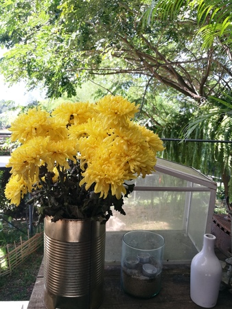 Yellow flowers of chrysanthemum in garden on sunny day beautiful stock photo yellow flowers of chrysanthemum in garden on sunny day beautiful blooming potted mums flower decorate on the wooden table foreground focused mightylinksfo