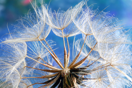 find similar images:    Find Similar Images Beautiful white dandelion flowers