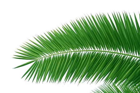 cycas: Palm leaves isolated green Stock Photo