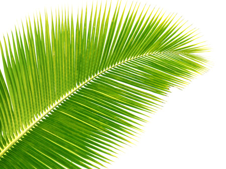 Palm leaves isolated green photo
