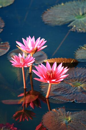 Red lotus  Stock Photo - 13579827