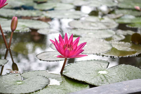 Closeup Picture of Pink lily flower blossom on blue water and green leaves background, beautiful purple waterlily in bloom on pond, one lotus flower floating on water surface on sunny summer day